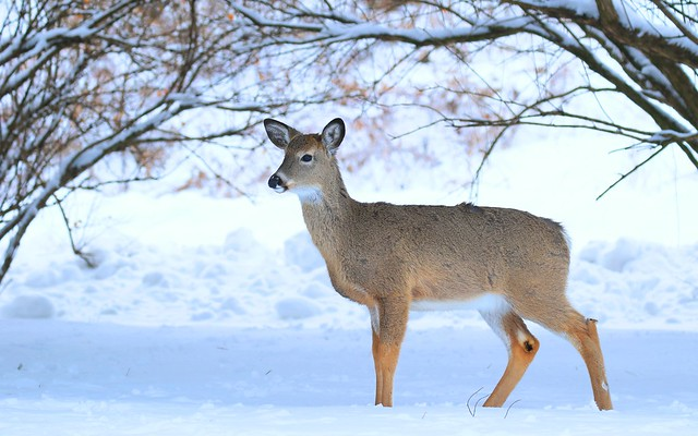 white-tailed deer doe at Lake Meyer Park IA 653A1123