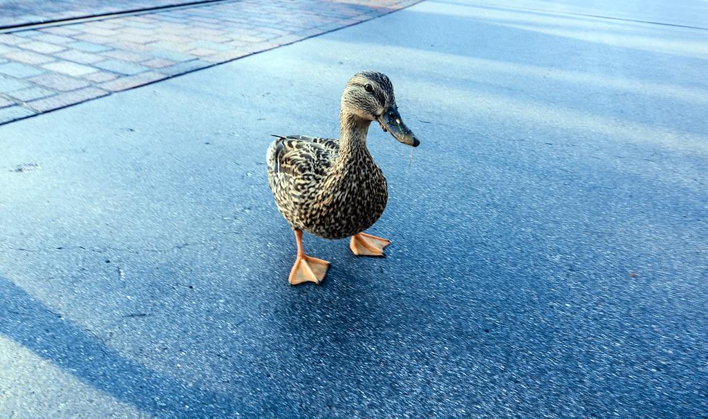 Duck DL Hub