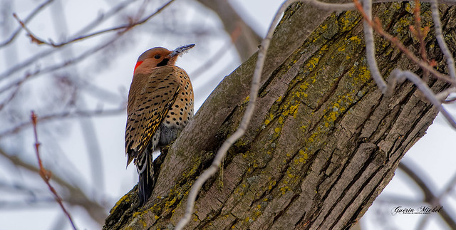 Pic flamboyant - Northern Flicker - Colaptes auratus