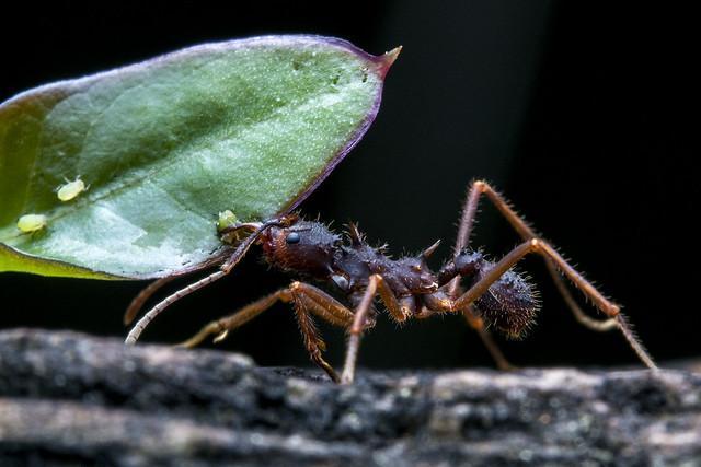 Acromyrmex, hormiga cortadora