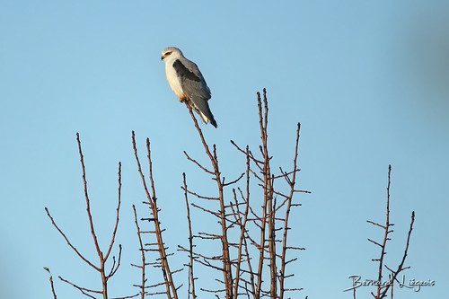 [In Explore] Elanus caeruleus   Elanion blanc   Black-shouldered Kite   Elanio Común   Gleitaar