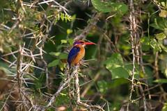 African Pygmy-Kingfisher (Ispidina picta), Murchison Falls National Park, Uganda