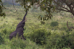 Elephant standing on its back legs reaching for food, Queen Elizabeth National Park, Uganda