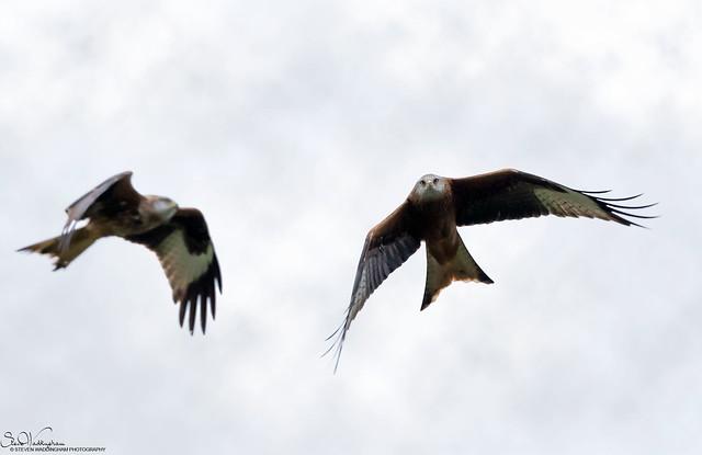 Red Kites 2