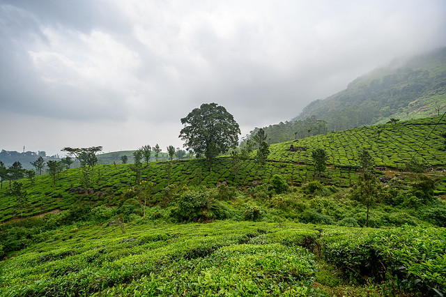 India - Kerala - Munnar - Tea plantation - 3814