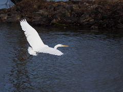 Great egret (Ardea alba,ダイサギ)