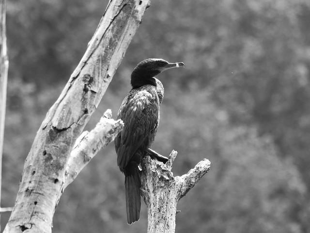 Yeco (Phalocrocorax brasilianus).