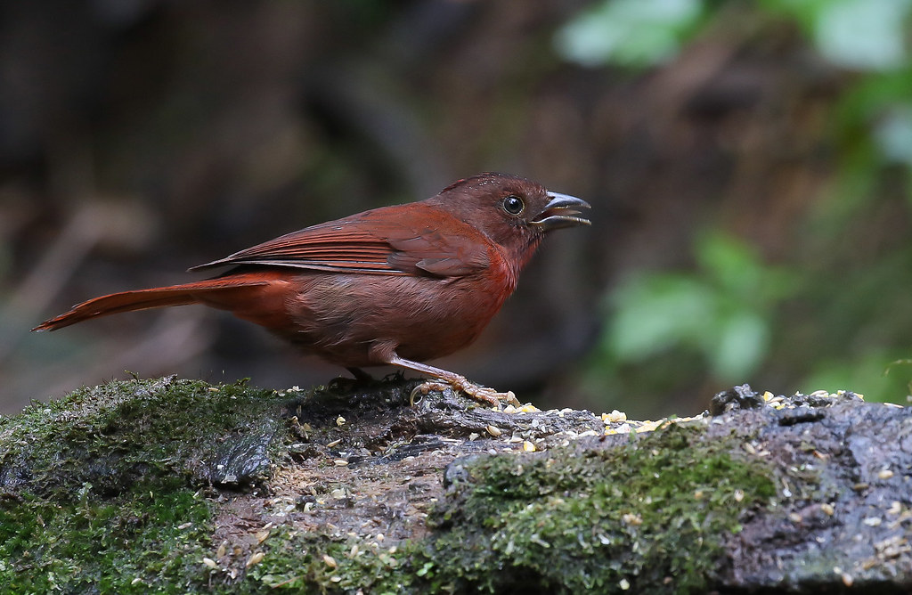 Tiê-do-mato-grosso / Red-crowned Ant-Tanager