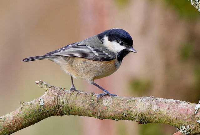 COAL TIT....Powys....Click on Image for feather detail.