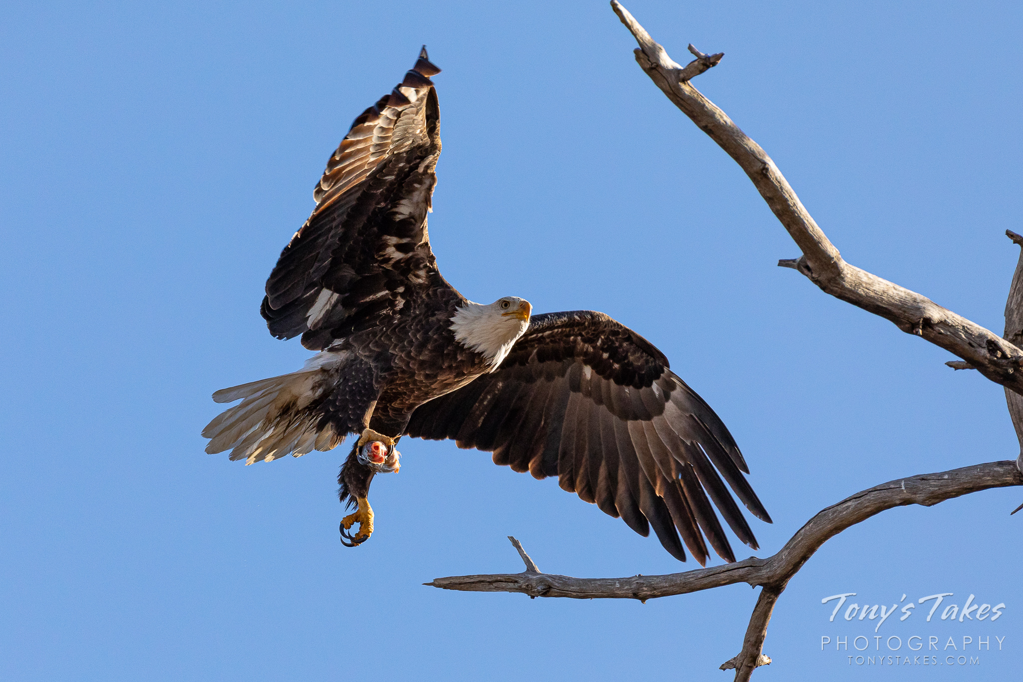 Bald eagle bringing home a fishy snack
