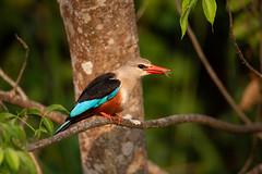 Grey-headed kingfisher (Halcyon leucocephala), Murchison Falls, Uganda