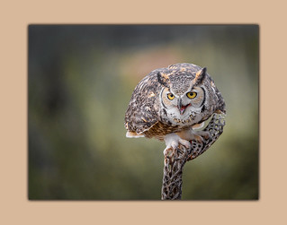 Great Horned Owl Ferocious Look
