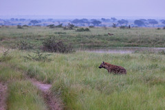 Spotted hyenas in the morning, Ishasha sector of the Queen Elizabeth National Park, Uganda