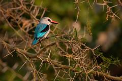 Woodland kingfisher (Halcyon senegalensis), Murchison Falls, Uganda