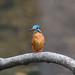 Kingfisher -202001250122.jpg
