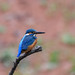 Kingfisher -202001250640.jpg