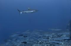 Grey shark and youngs barracuda