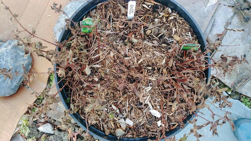 Remove dead perennials (i.e., basil)