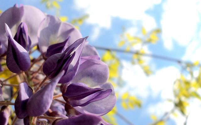 Plavi bagrem / Chinese wisteria (Wisteria sinensis)