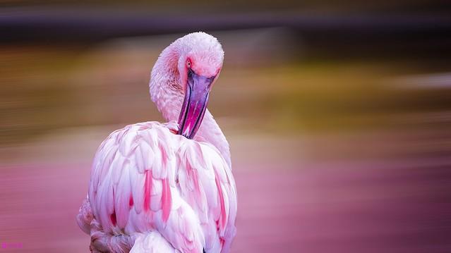 Flamingo - 8016