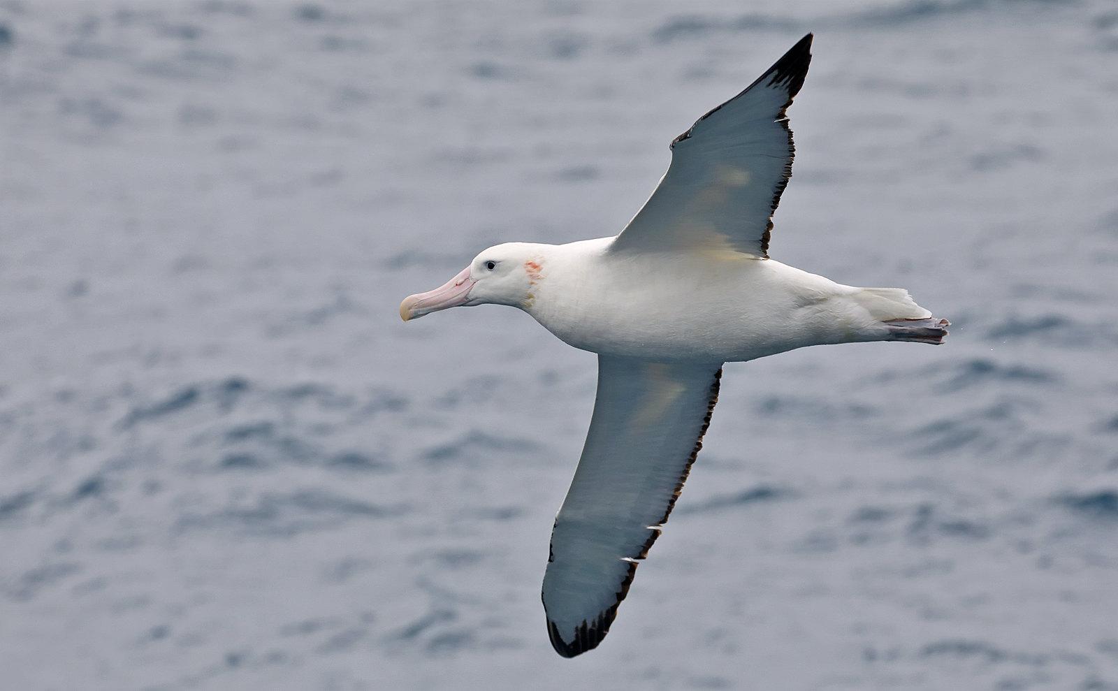 """""""Snowy"""" Wandering Albatross"""