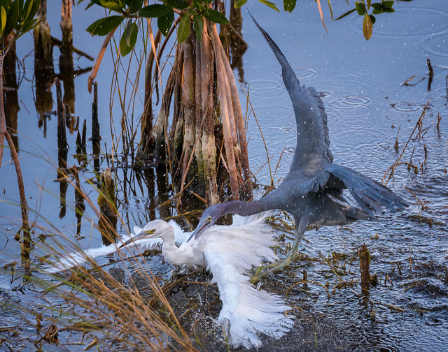 Adult Little blue heron attacking a juvenile Little blue heron in the marsh at Ten Thousand Islands National Wildlife Refuge near Naples, Florida