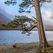 Pine tree at Hassness,  Buttermere