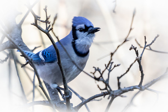 looks of the blue jay - the angelic look