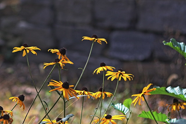 Yellow fall flowers by a stone wall