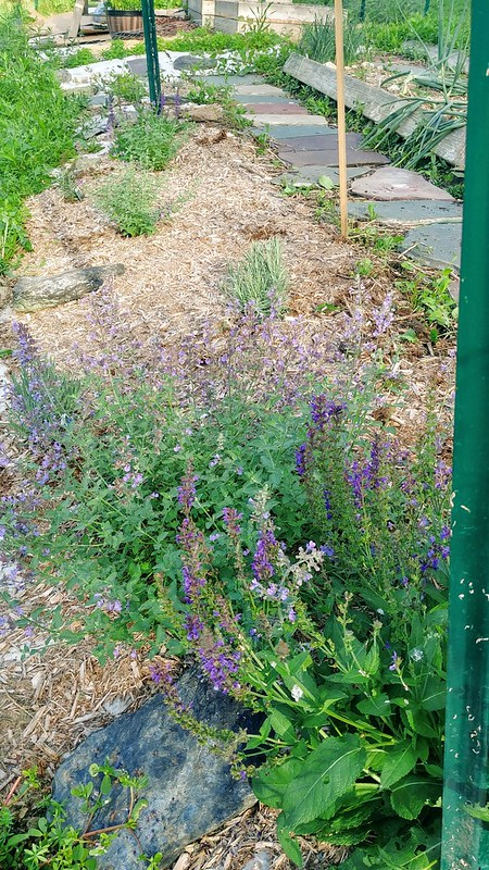 Meadow Sage & Catmint on west side doing better than the east side