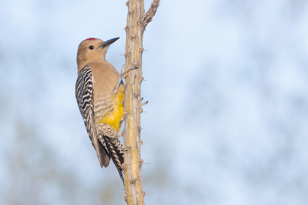A male Gila woodpecker clings to an ocotillo in the fading light of a winter afternoon in our backyard in Scottsdale, Arizona in January 2020