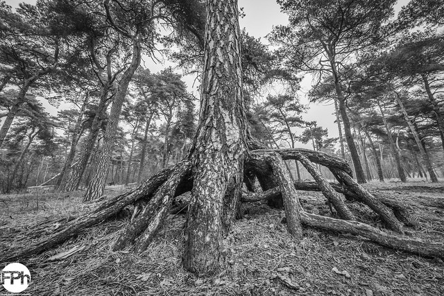 The Roots of a Pine Tree