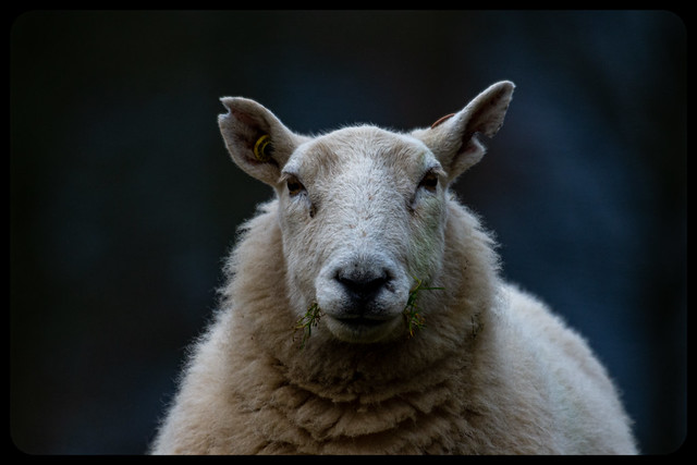 White Faced Sheep