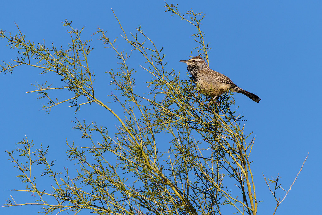 A cactus wren sings while perched on the branches of a palo verde and its tiny leaves, taken on the Jasper Trail at Cave Creek Regional Park in Cave Creek, Arizona in January 2020