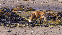 Red Fox searching for food during low tide