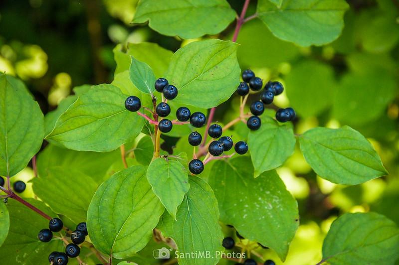 Frutos maduros de cornejo en Les Hortes de Capafonts