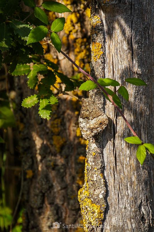 Mariposa camuflada en el tronco de un árbol en Capafonts