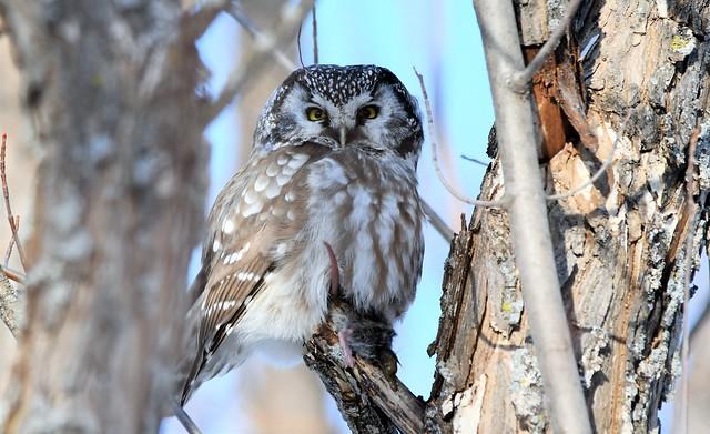 Nyctale de tengmalm avec sa proie   (lifer) Boreal Owl with it's prey
