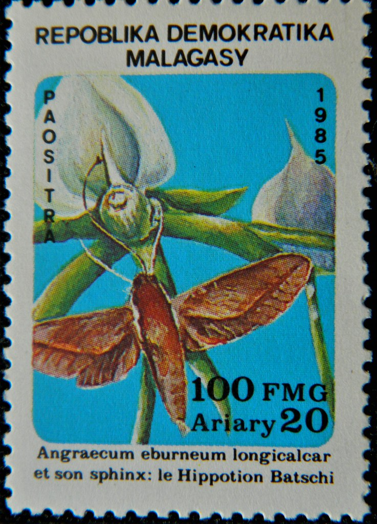 Angraecum eburneum longicalcar