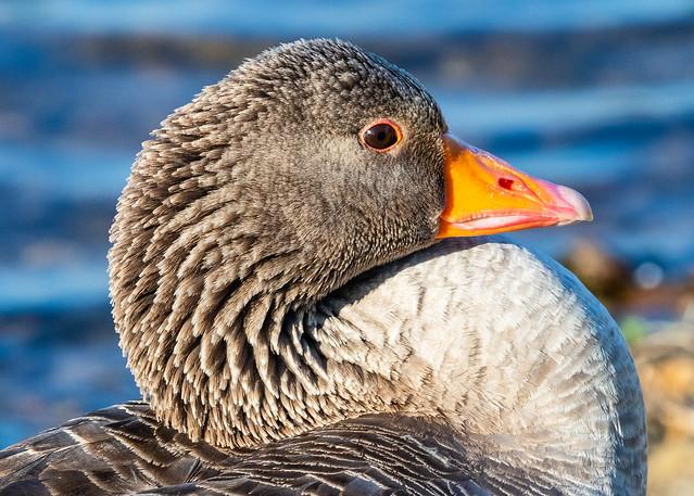 Goose up close