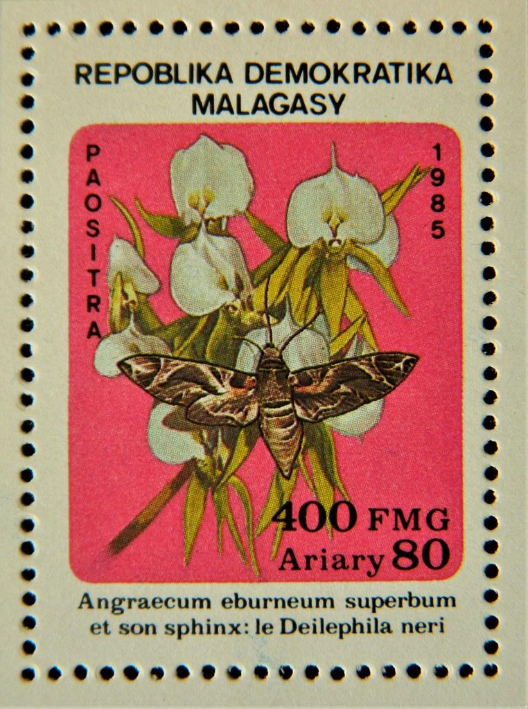 Angraecum eburneum superbum