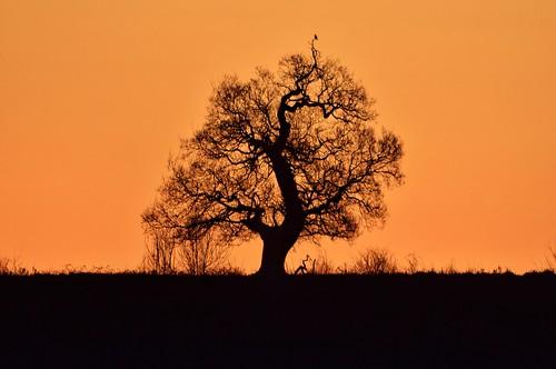 tree silhouette golden firstlight morning leicester lonetreeatsunrise sunrise england wintersunrise nikond5500 ninaali goldensunrise nature