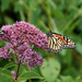 Picture Taken Of A Monarch Butterfly Sitting On A Flower. Photo Taken Sunday August 19, 2018