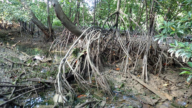 Mangroves near Sungei Loyang