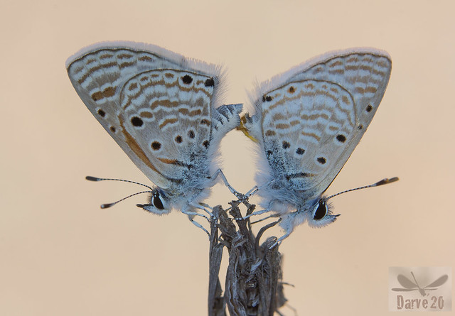 Bright Babul Blue - Azanus ubaldus (Stoll, 1782)