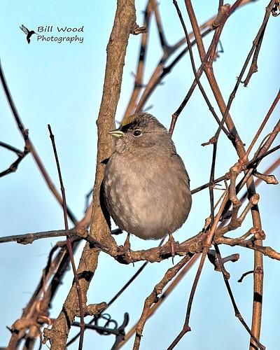 rrnwlr goldencrowned sparrow birds