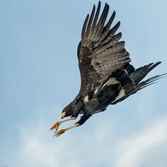Black-headed eagle hunting Venezuela