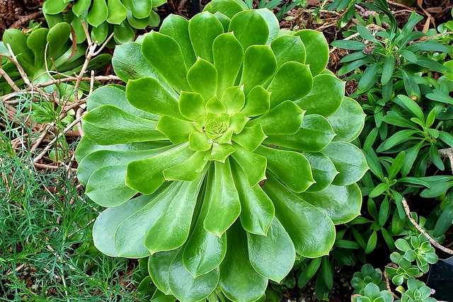 Aeonium...Canary Islands