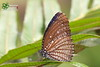 The Spotted Palmfly - ผีเสื้อหนอนมะพร้าวลายจุด
