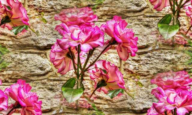 * Rose sul muro * Roses on the wall *